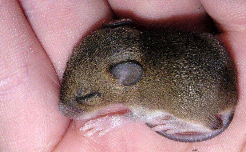 mice-gut-flora