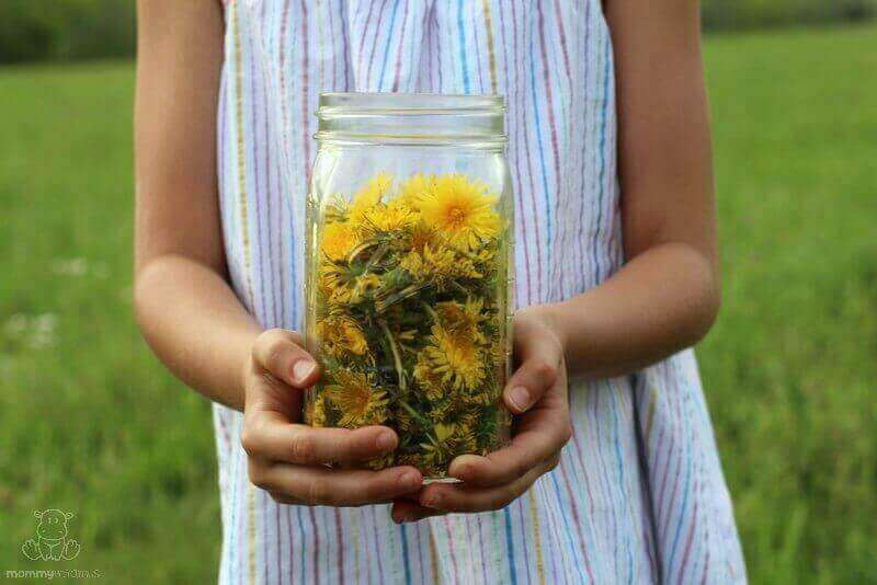 dandelion benefits uses