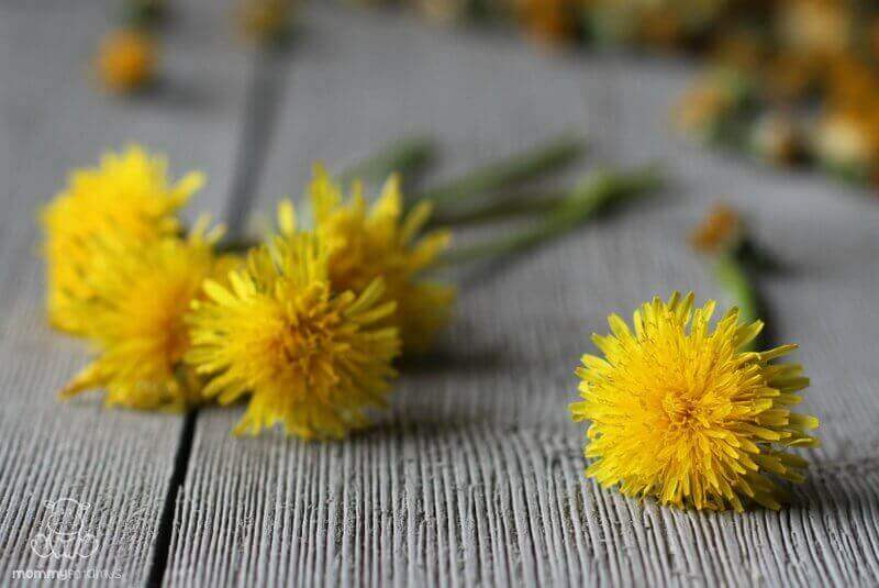 dandelion flower benefits uses
