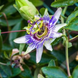 Close up of passionflower vine