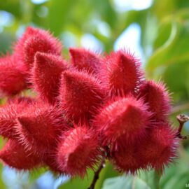 Annatto Pods: A rich source of tocotrienols