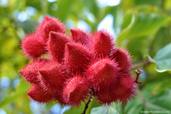 Annatto Pods: A rich source of tocotrienols