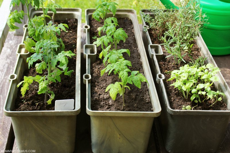 Herbs and vegetables growing in containers