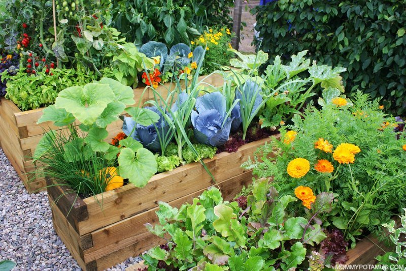 Raised vegetable garden with cabbage, leafy greens, and flowers to attract pollinators