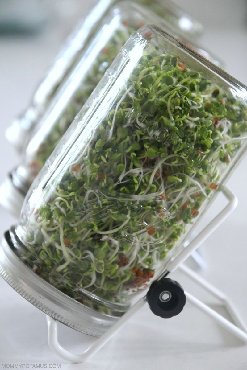 how to grow sprouts mason jar