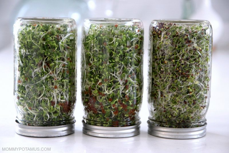 Indoor Gardening - Countertop Sprouts