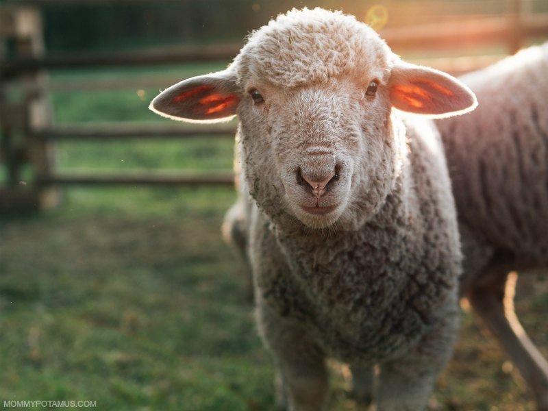 my green mattress review organic wool