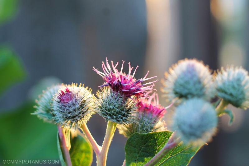 Burdock flower (Arctium lappa)
