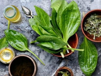Plantain herb on countertop with plantain tea